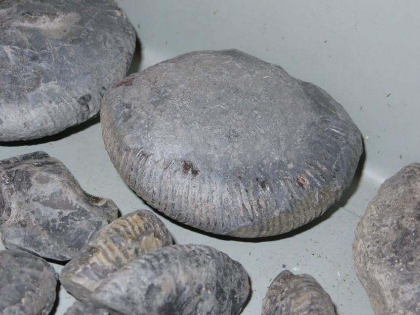Plagiostoma gigantea