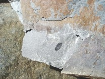 Brachiopod - Lingulella davisi