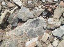 Fossil brachiopod