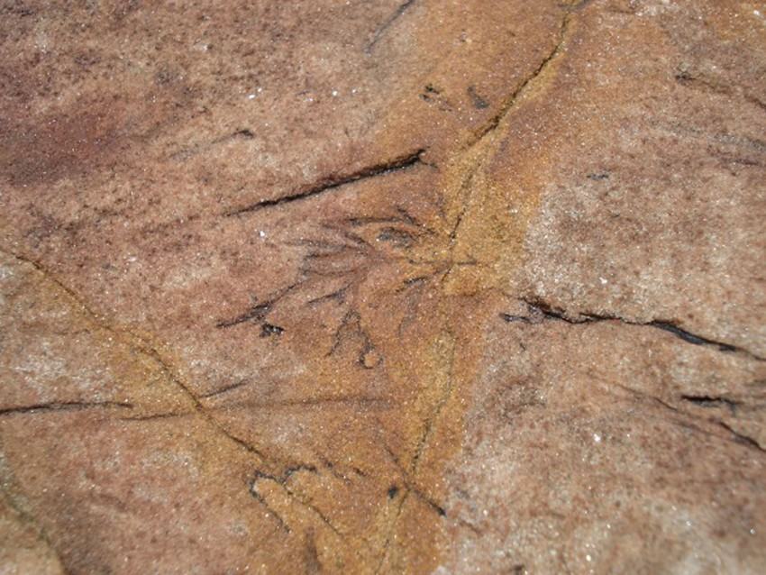 Small plant fossil impression