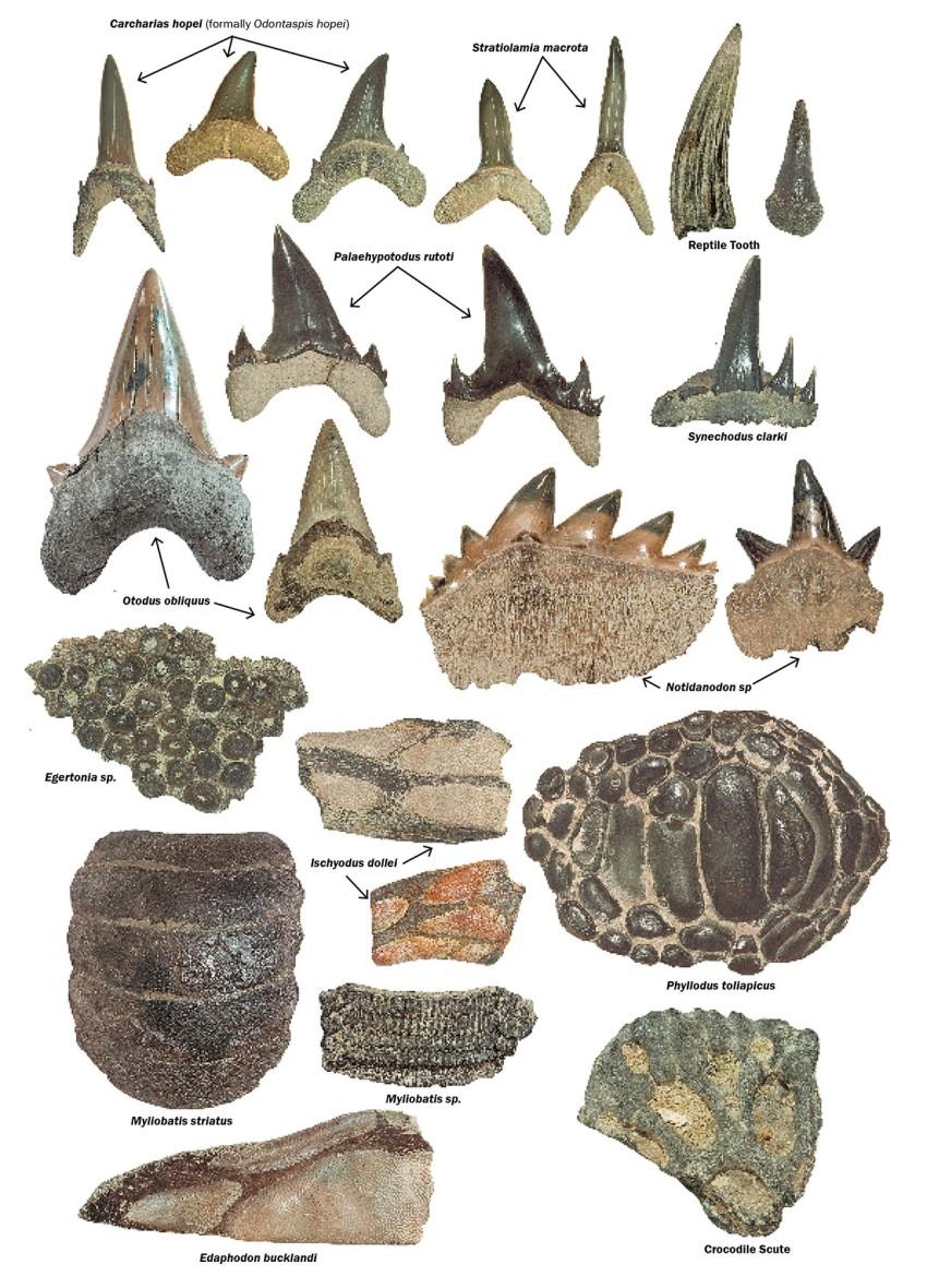 Beltinge Herne Bay UK Fossil Collecting – Types of Fossils Worksheet