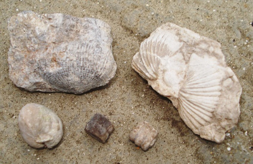 Brachiopods and crinoid stem parts