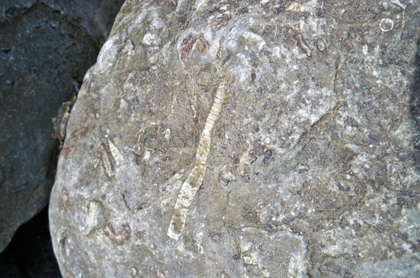 Crinoid stem in limestone