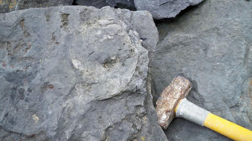 Large gonatite or gastropod