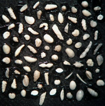 lower chalk microfossils