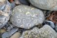 Rolled brachiopod cobble