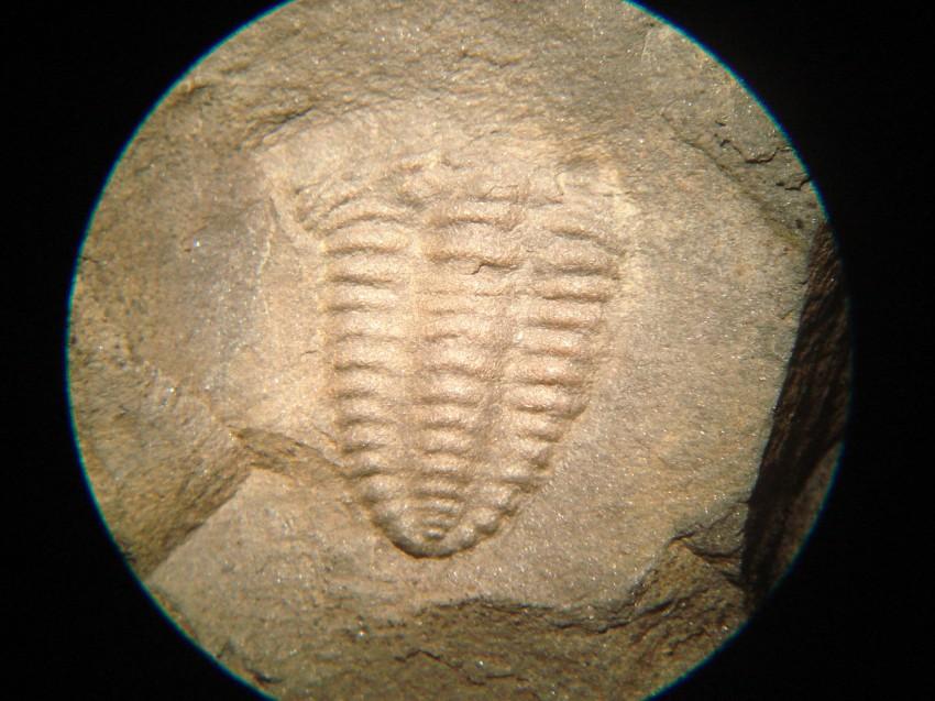 Trilobite under x10 magnification - Placoparia cambriensis