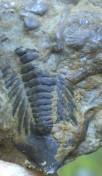 trilotail