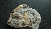 Belemnite phragmacone and more Ludwigia ammonites.