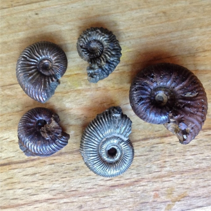 Ammonites from Tidmoor Point, Dorset