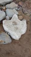 Iguanodontid footprint at Compton Bay