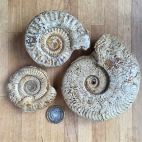 Typical ammonite specimens from Kingstone, Somerset.