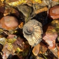 A beautiful ammonite in situ at Tidmoor Point, Dorset.